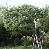 Mature Crab Apple - Reduce to Shape